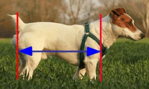 犬の体長 正しい測り方