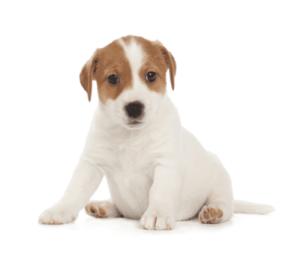 ジャックラッセルテリア 可愛い子犬画像 スムース