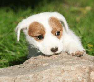 ジャックラッセルテリア 可愛い子犬画像 可愛い子犬画像 ラフ