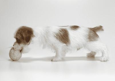 ジャックラッセルテリア 可愛い子犬画像 ブロークン