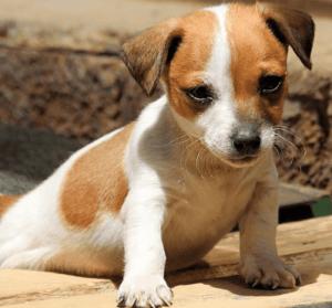 ジャックラッセルテリア子犬スムース